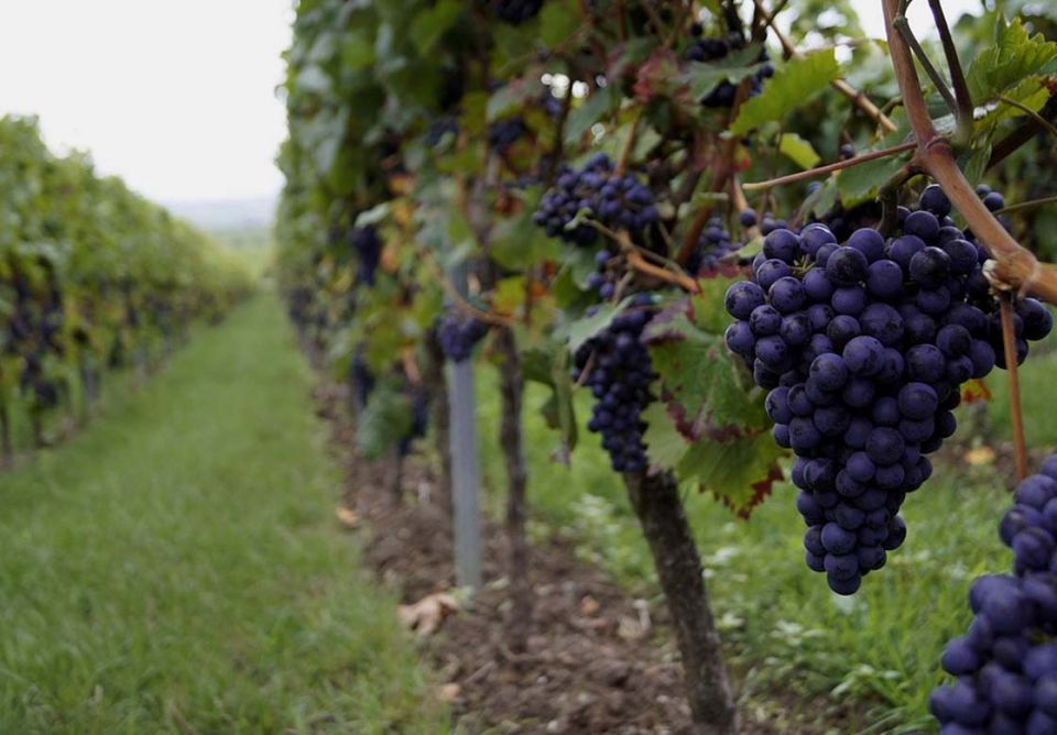 Grape Varieties For Sale in Canada